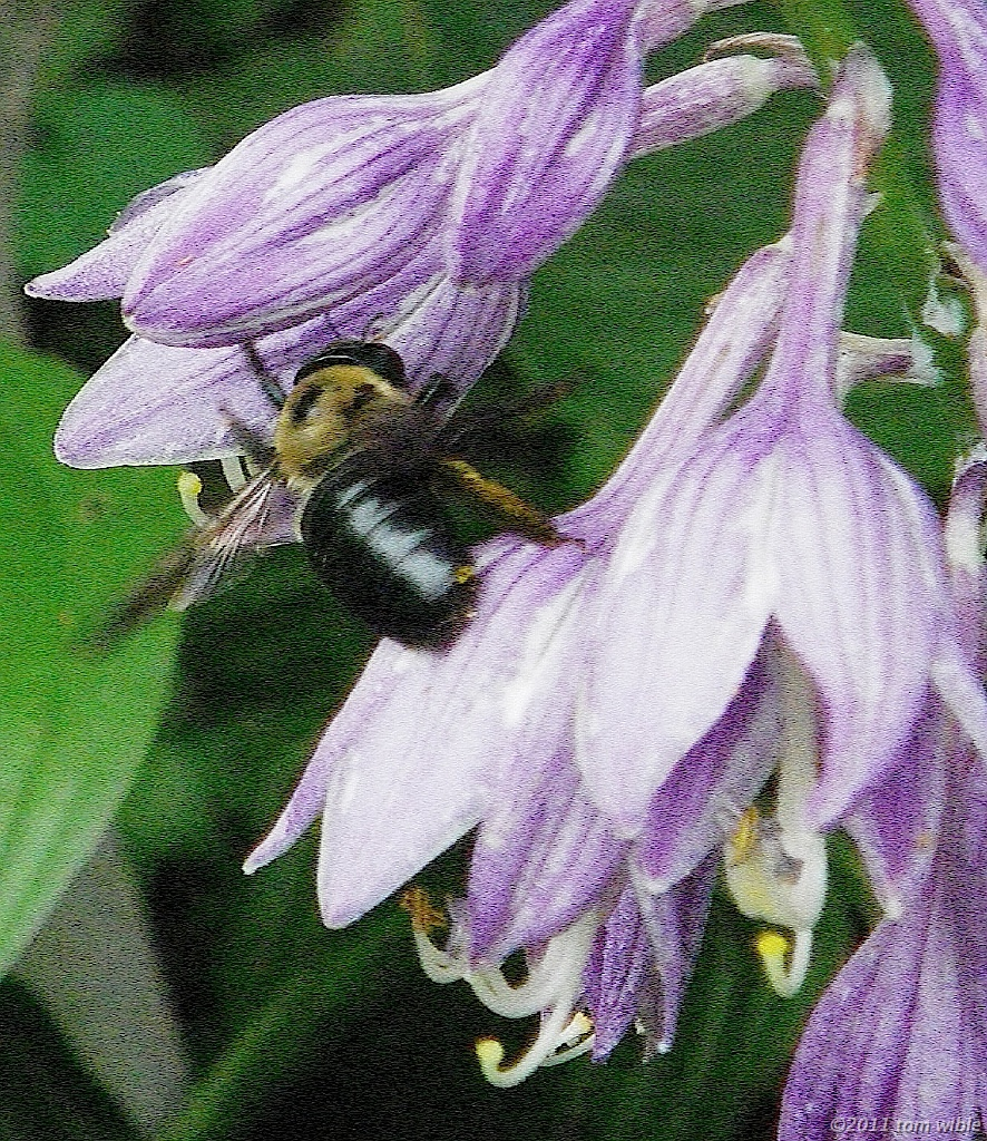 Bumblebee on Hosta by Tom Wible