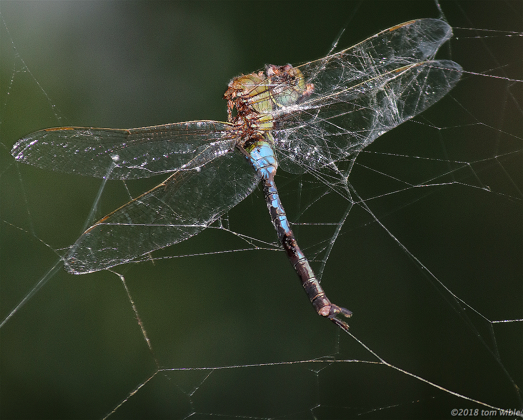 poor dragonfly